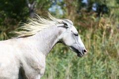 疾驰横跨一个绿色夏天牧场地的纯血统阿拉伯马 图库摄影