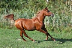 疾驰横跨一个绿色夏天牧场地的纯血统阿拉伯马 免版税库存照片