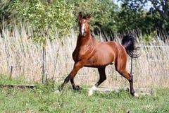 疾驰横跨一个绿色夏天牧场地的阿拉伯品种马 图库摄影