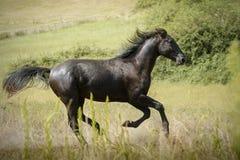 疾驰横跨草甸的黑公马马 免版税库存图片