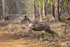 疾驰的水鹿鹿被看见在Tadoba,钱德拉普尔,马哈拉施特拉,印度 库存照片