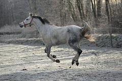 疾驰的白马在冬天 库存图片