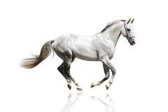 疾驰的银色公马白色 免版税库存照片