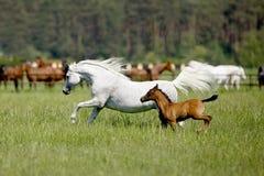 疾驰的马在牧场地 免版税图库摄影