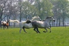 疾驰的马在牧场地 免版税库存图片