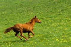 疾驰的马 库存照片