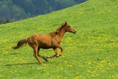 疾驰的马 免版税库存照片