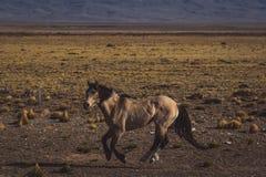 疾驰通过沙漠风景的马 库存照片