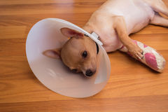 病态的狗睡眠 免版税库存照片