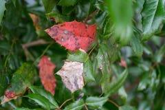 病态的红色植物叶子关闭 免版税库存照片