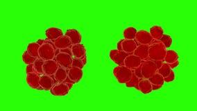 病毒被传染的人体组织 病毒,细菌,微生物接近  绿色屏幕4k英尺长度 库存例证