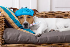 病的不适的狗以热病 免版税库存图片