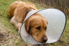 病的狗佩带的漏斗衣领 免版税库存照片