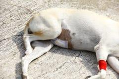 病的狗在地板上说谎 免版税库存照片