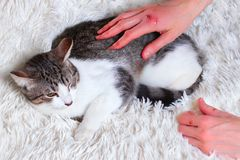 病的猫,伤害,抢救从城市街道 世界天宠物,风雨棚动物的概念 被抓的救助者手 免版税库存图片