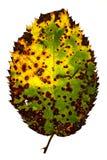 病的秋天叶子 免版税库存照片