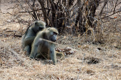痒的狒狒 免版税库存图片