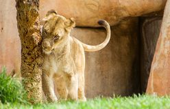 痒的狮子在徒步旅行队公园 免版税库存图片