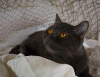 刻痕灰色夫人猫 免版税库存图片