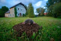 痣在有房子的庭院里在背景中 痣, Talpa europaea,爬出棕色田鼠窝,绿草 在土壤的老鼠 痣 免版税图库摄影