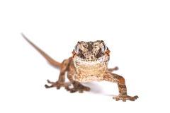 瘤带头的巨型壁虎(Rhacodactylus auriculatus) 库存图片