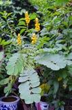 癣灌木黄色花或蜡烛灌木花或者Candelab 免版税库存照片