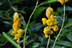 癣灌木黄色花或蜡烛灌木花或者Candelab 库存照片