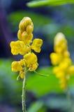 癣灌木黄色花或蜡烛灌木花或者Candelab 库存图片