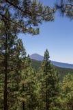 登上泰德峰, Las Lagunetas,特内里费岛,加那利群岛,西班牙看法在针叶树之间的 库存图片