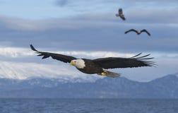 登陆三的盘旋的老鹰 免版税库存照片