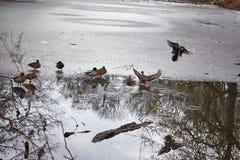 登陆半frosen池塘表面上的鸭子  库存图片