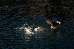 登陆在圣盛生,瑞士的野鸭 免版税库存照片