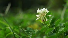 白三叶草在一个绿色草甸 批评的照相机  股票视频