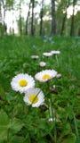 白三叶草在立陶宛的公园 库存图片