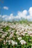 白三叶草狂放的草甸在深蓝天的领域开花 自然葡萄酒夏天秋天室外照片 嘘选择聚焦宏指令 图库摄影
