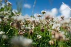 白三叶草狂放的草甸在深蓝天的领域开花 自然葡萄酒夏天秋天室外照片 嘘选择聚焦宏指令 免版税库存照片