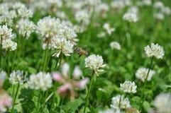 白三叶草车轴草repens和蜜蜂 免版税库存照片