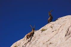 白云岩高地山羊 库存图片