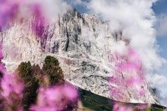 白云岩sassolungo langkofel gardena桃红色草甸花 库存图片