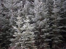 白云杉或云杉属在树冰盖的Glauca 免版税库存图片