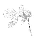 黑白传染媒介蓝莓手拉的分支  免版税库存图片