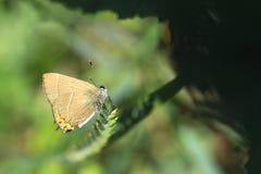 白信件翅上有细纹的蝶蝴蝶 免版税图库摄影