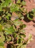 白信件翅上有细纹的蝶蝴蝶 免版税库存照片