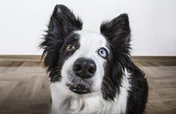 黑白博德牧羊犬 库存图片