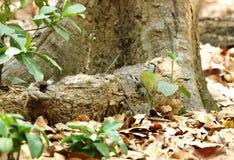 白发啄木鸟 库存照片