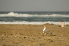 白发海鸥 免版税图库摄影