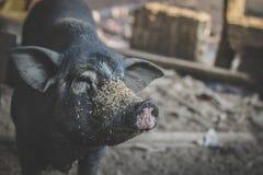 白发野公猪在泰国 图库摄影