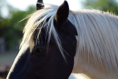 白发马在阳光下 免版税库存照片