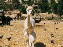 白发骆马在羊魄农场 库存照片