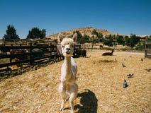 白发骆马在羊魄农场 库存图片